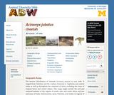 Acinonyx jubatus: Information