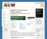 Acipenser transmontanus: Information