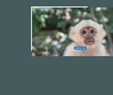 capuchin برأس أبيض-قرد-الحيوان الثديي