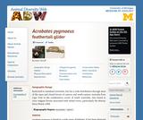 Acrobates pygmaeus: Information